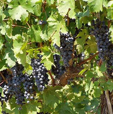 Nassau Vineyards